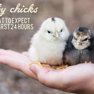 Baby Chicks – What to Expect the First 24 Hours
