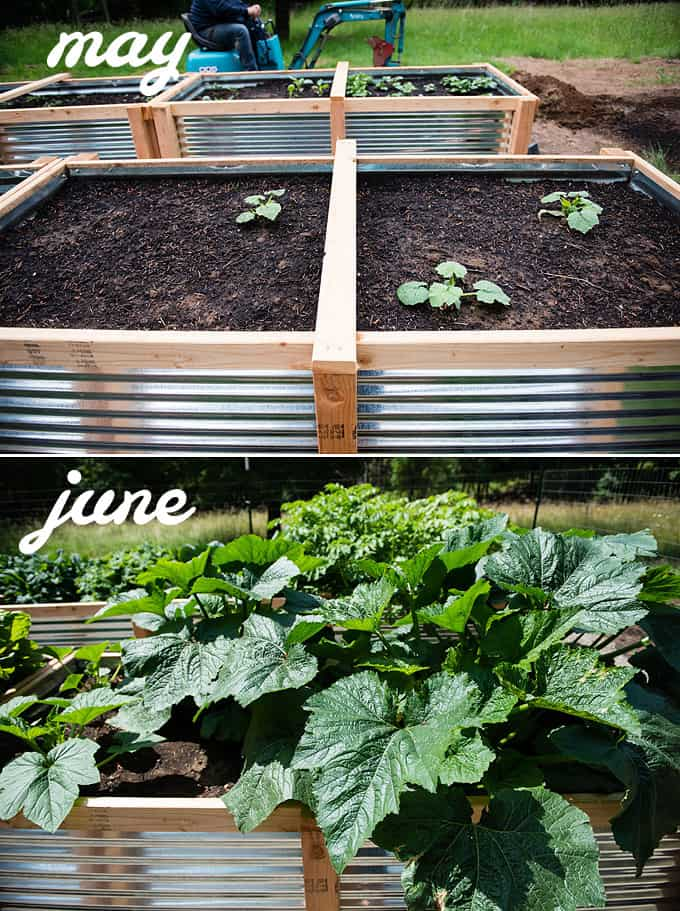 zucchini and summer squash in raised vegetable beds