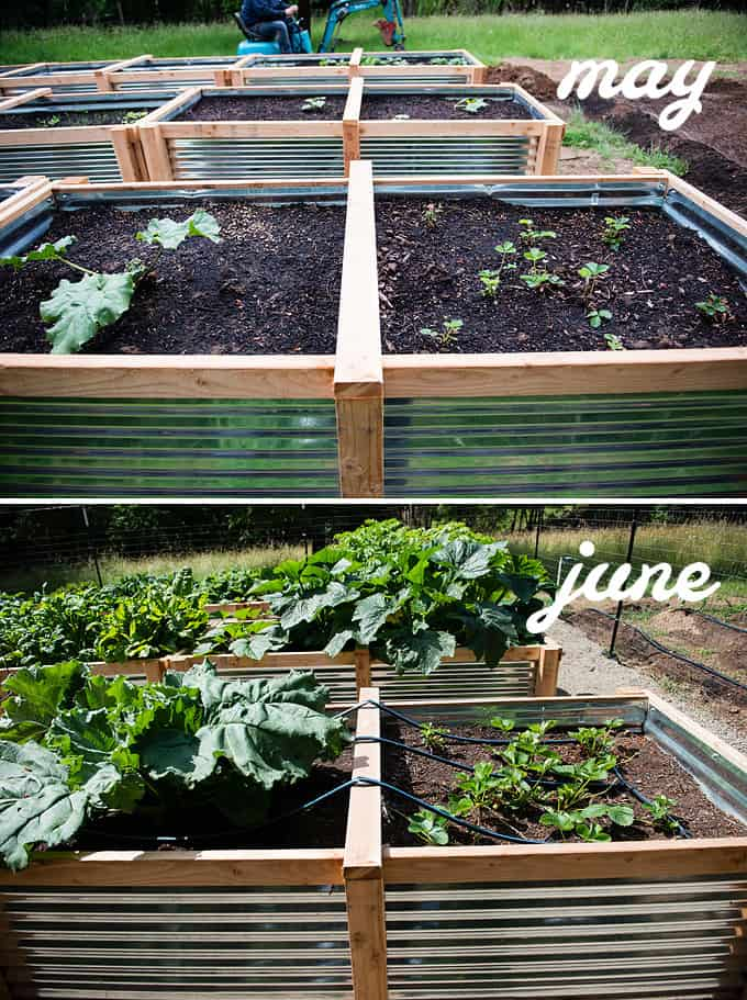 rhubarb and strawberries in raised vegetable beds