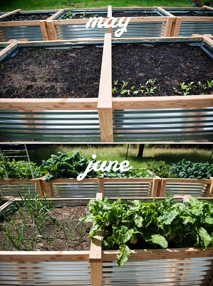beets and leeks in raised vegetable beds