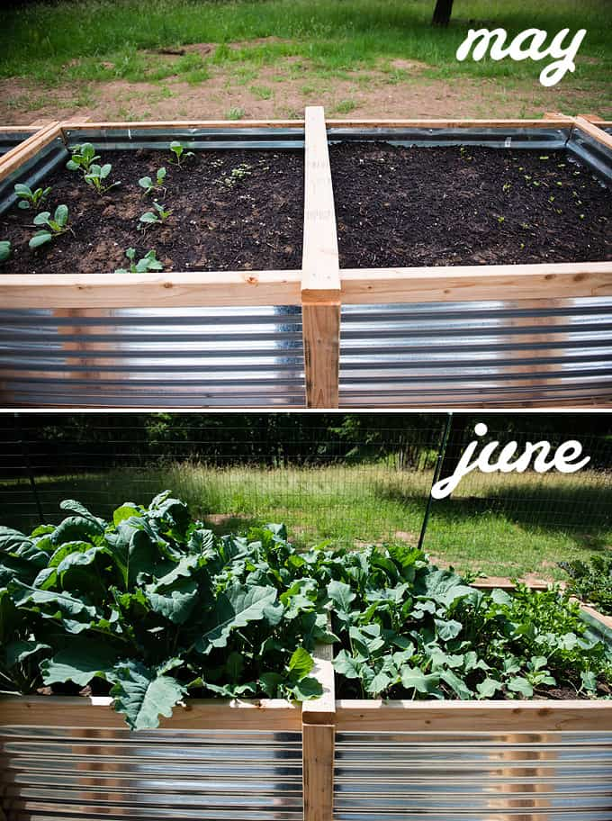 brussels sprouts, broccoli, cauliflower, and celery in raised vegetable beds