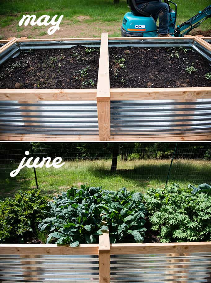 kale and onions in raised vegetable beds