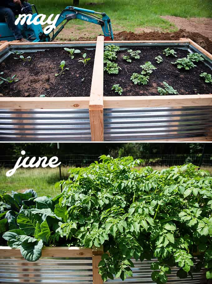 potatoes and cabbage in raised vegetable beds