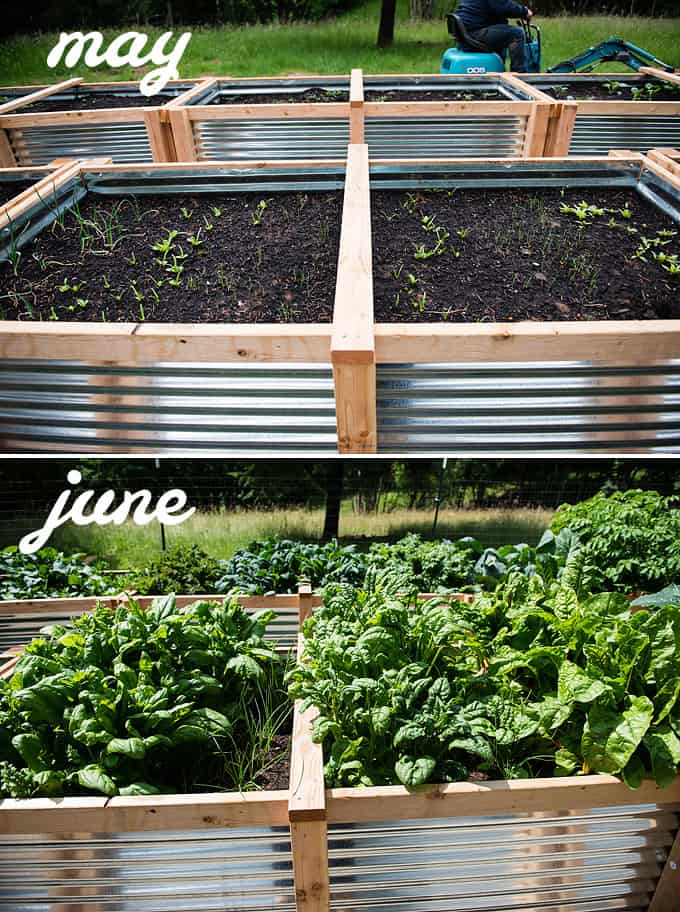 spinach and onions in raised vegetable beds