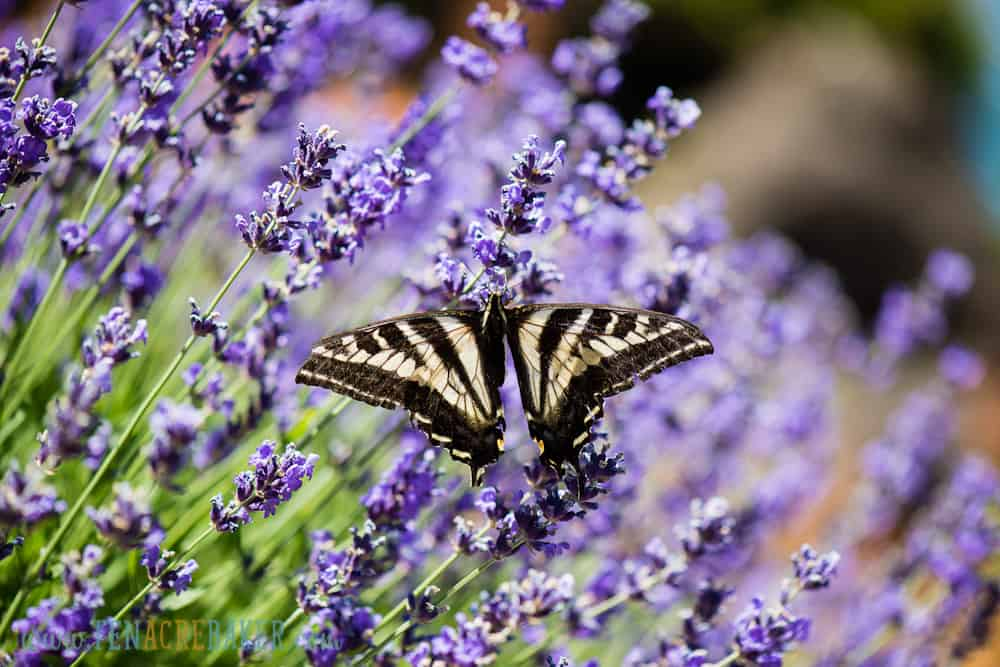 yellow and black butterfly on lavendar plant