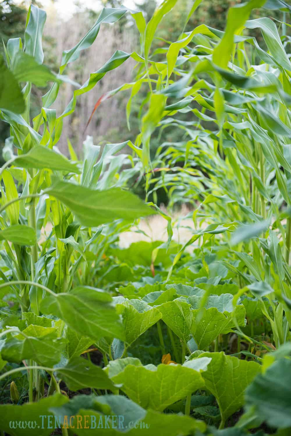 corn and melons in the garden