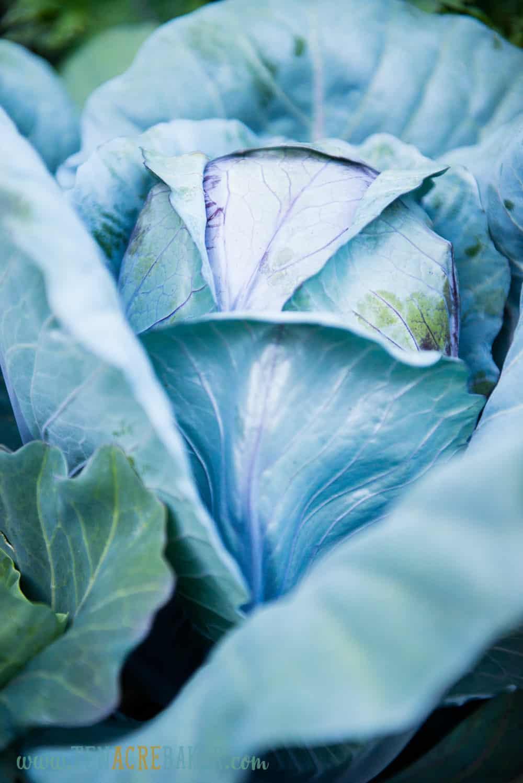 purple cabbage in the garden