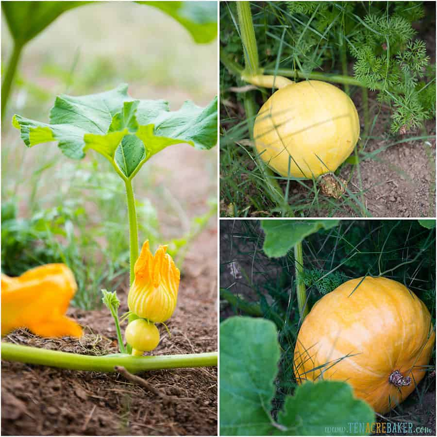 Baby pumpkin and pumpkins on the vine