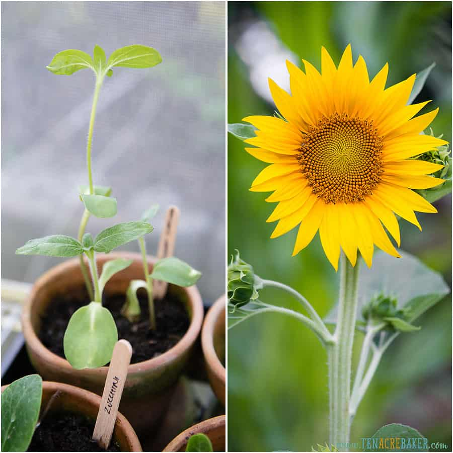 Sunflower start and sunflower that has bloomed