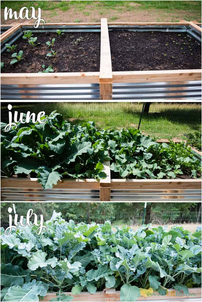 vegetable garden changes from May to June to July - brussels sprouts and broccoli