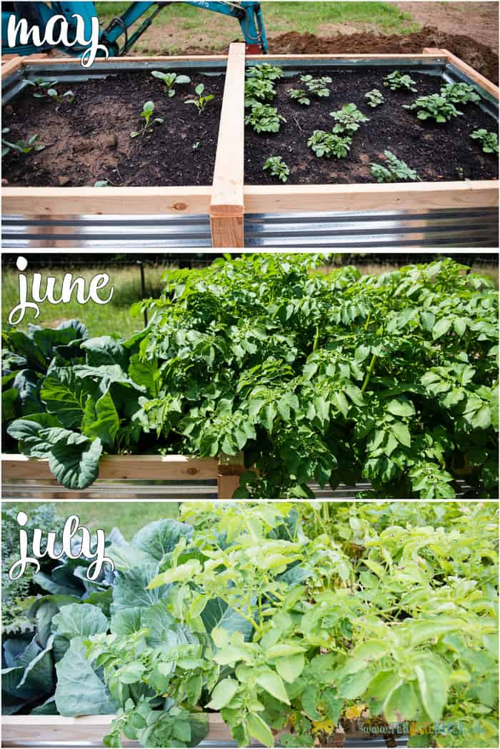 vegetable garden changes from May to June to July - potatoes and cabbage