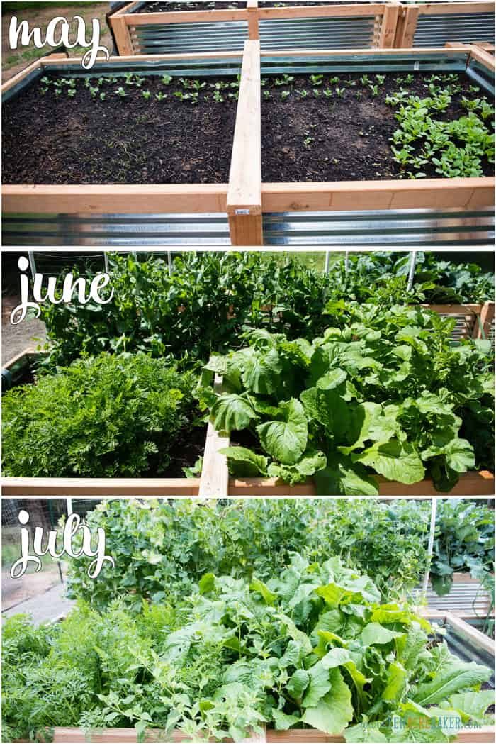 vegetable garden changes from May to June to July - carrots and peas