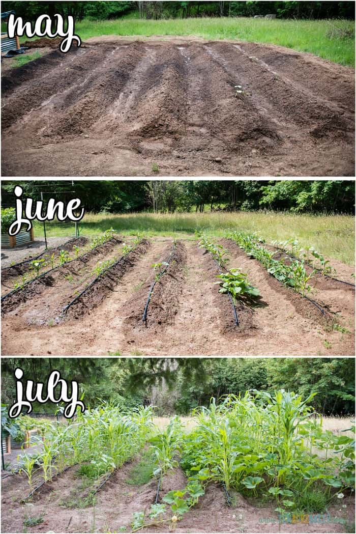 vegetable garden changes from May to June to July - corn and pumpkins
