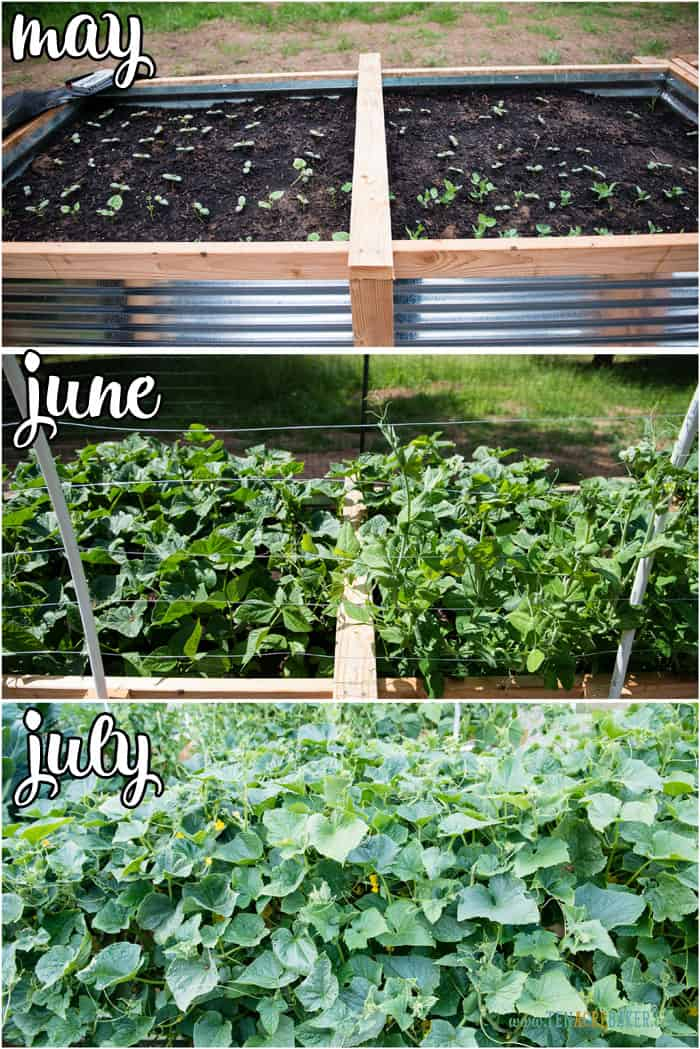 vegetable garden changes from May to June to July - cucumber and peas