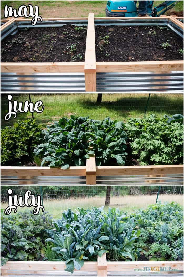 vegetable garden changes from May to June to July - kale