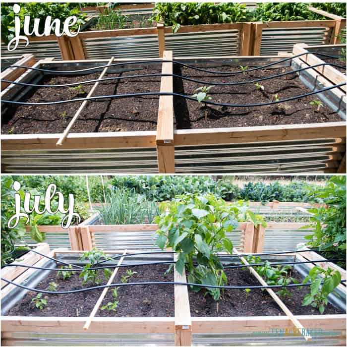vegetable garden changes from June to July - peppers