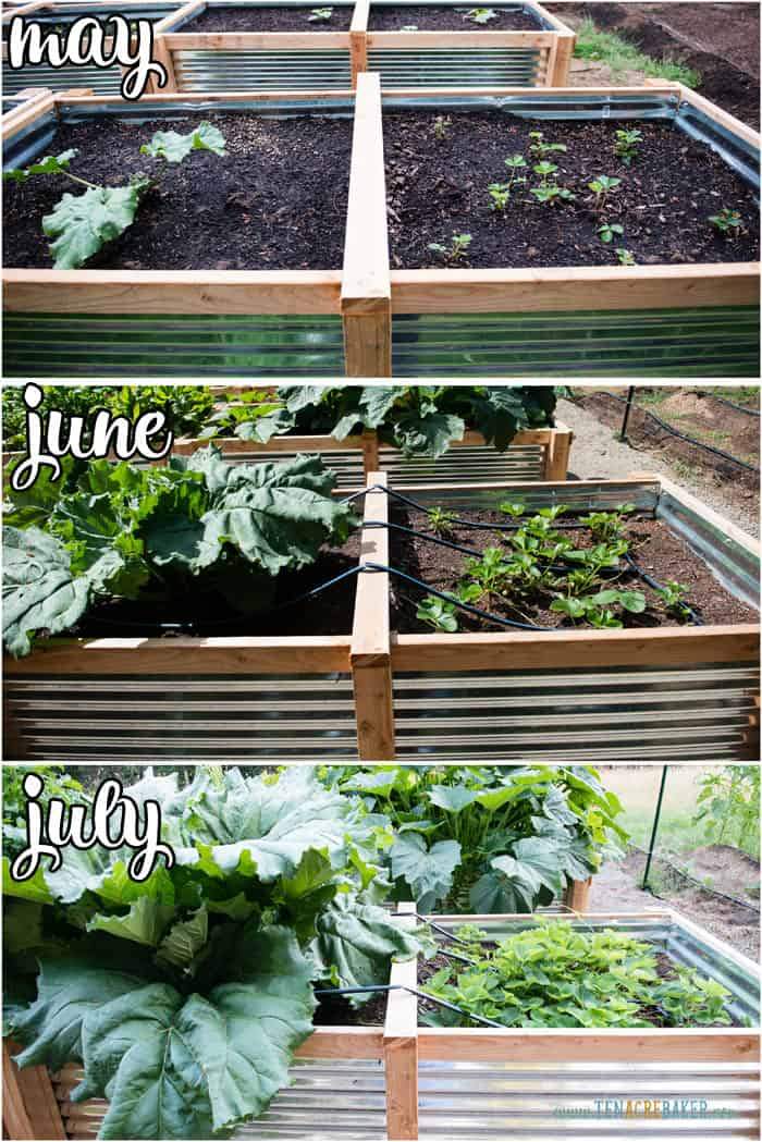 vegetable garden changes from May to June to July - strawberries and rhubarb
