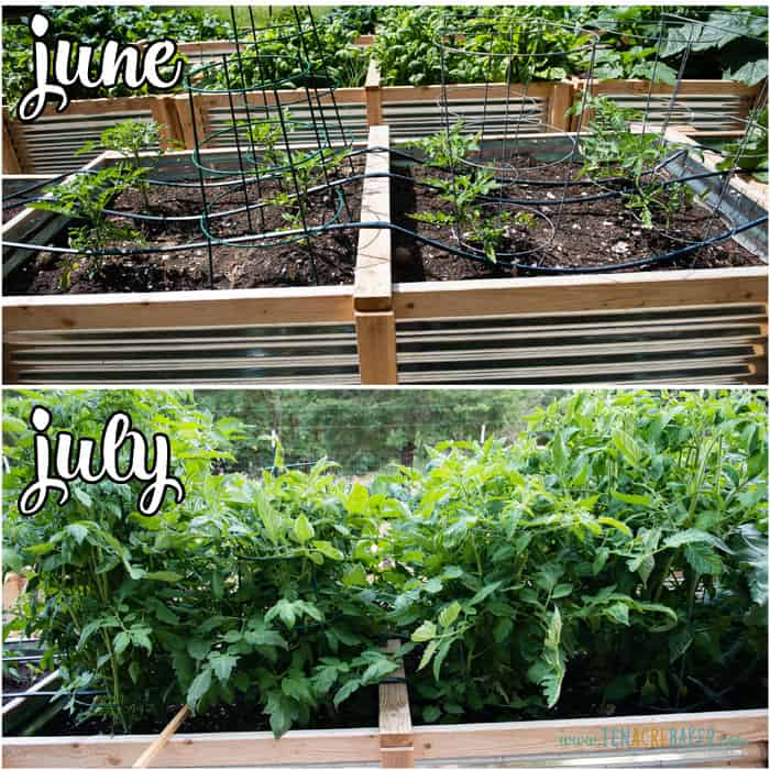 vegetable garden changes from June to July - tomatoes