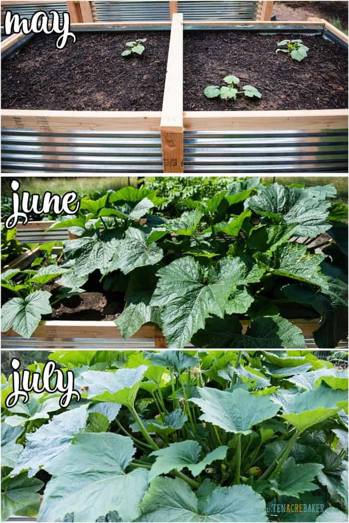 vegetable garden changes from May to June to July - zucchini
