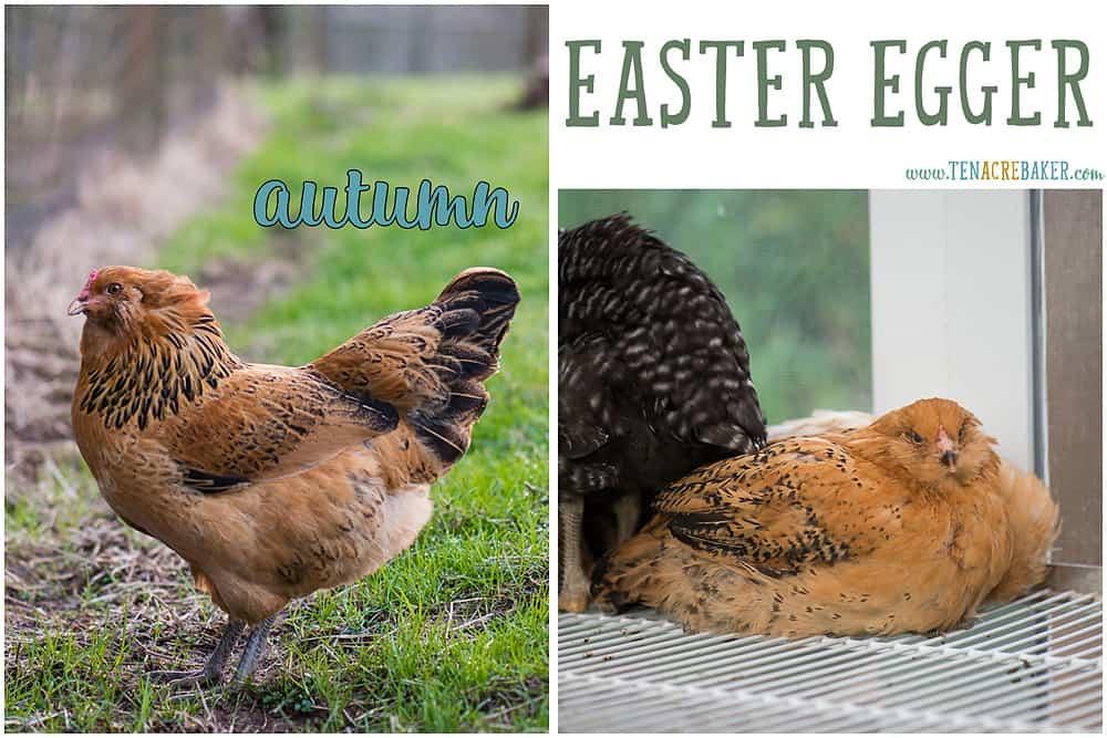 Easter Egger backyard chickens
