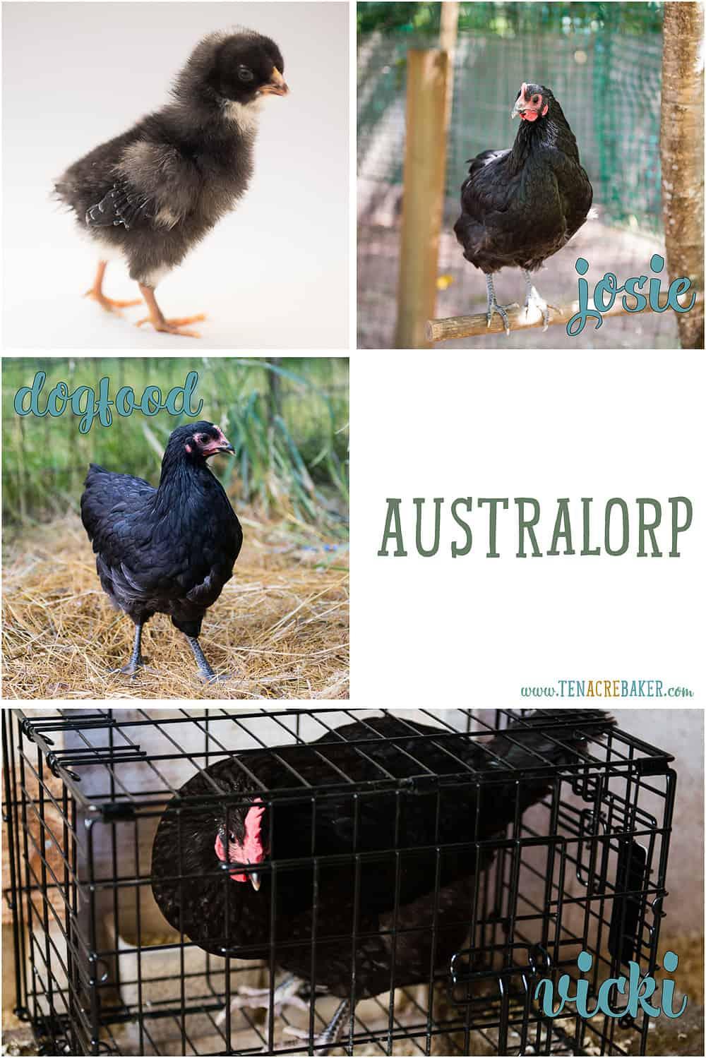 Australorp backyard chickens