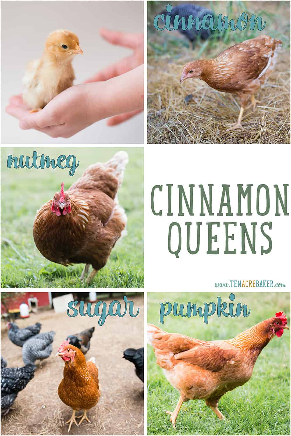 Cinnamon Queen (red sex link) backyard chickens