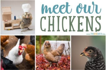 Meet our backyard chickens