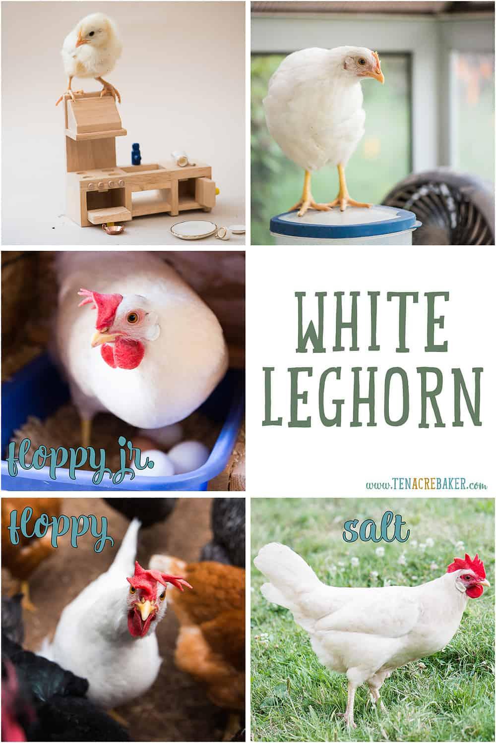 White Leghorn backyard chickens