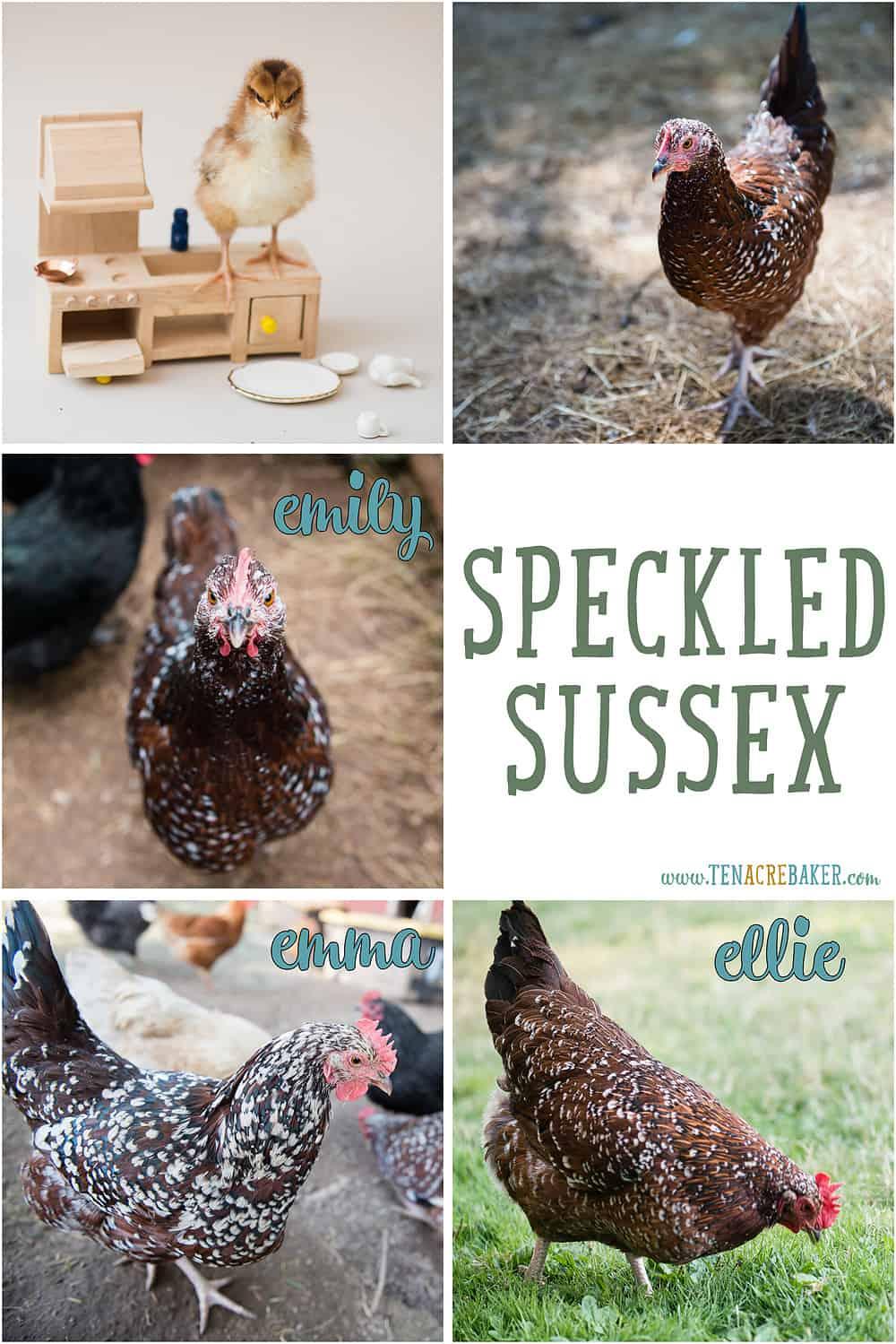 Speckled Sussex backyard chickens