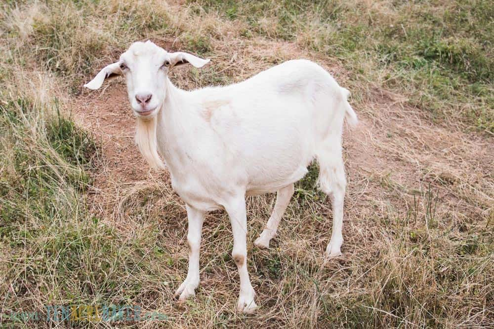 white goat with long ears