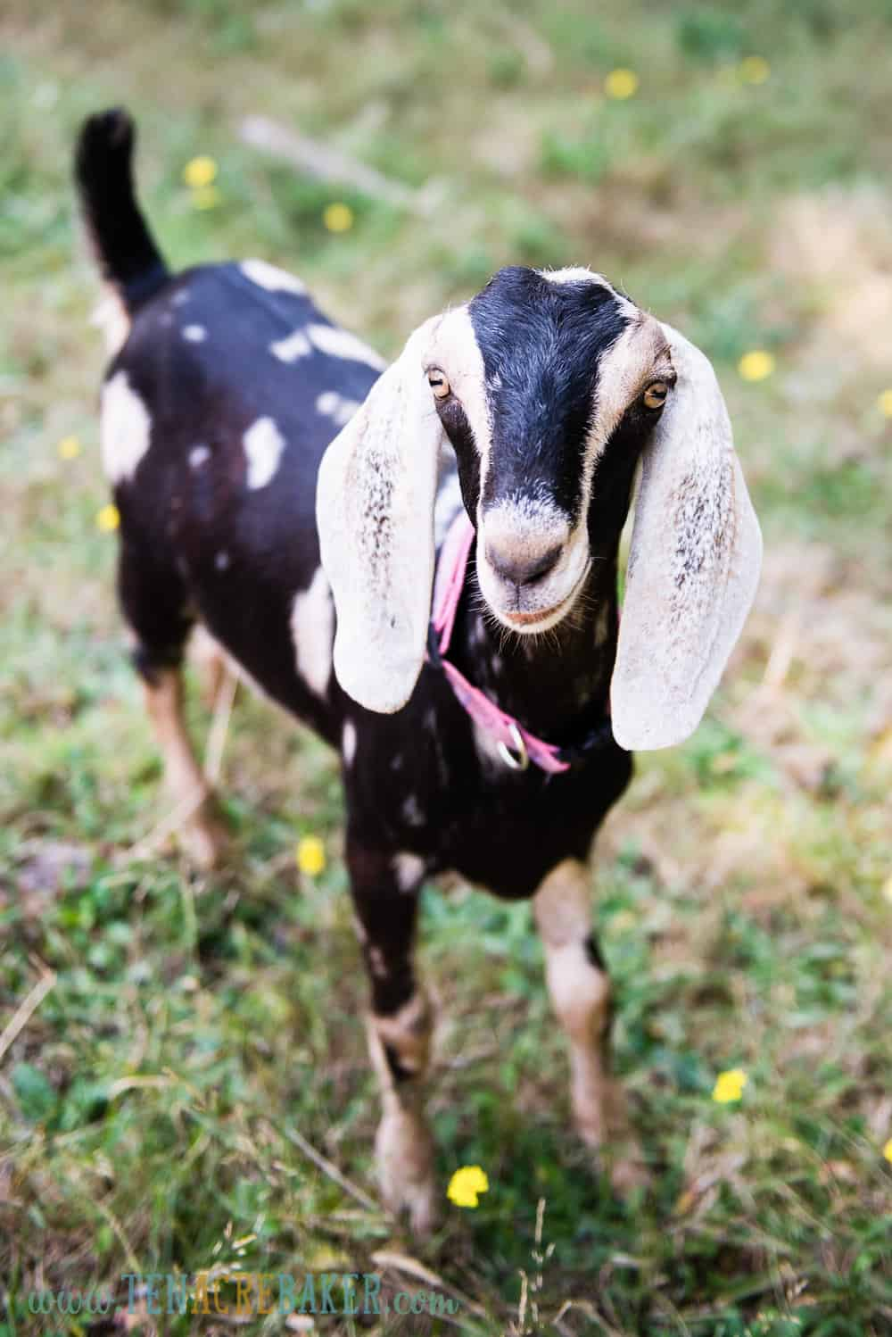 Black spotted nubian goats