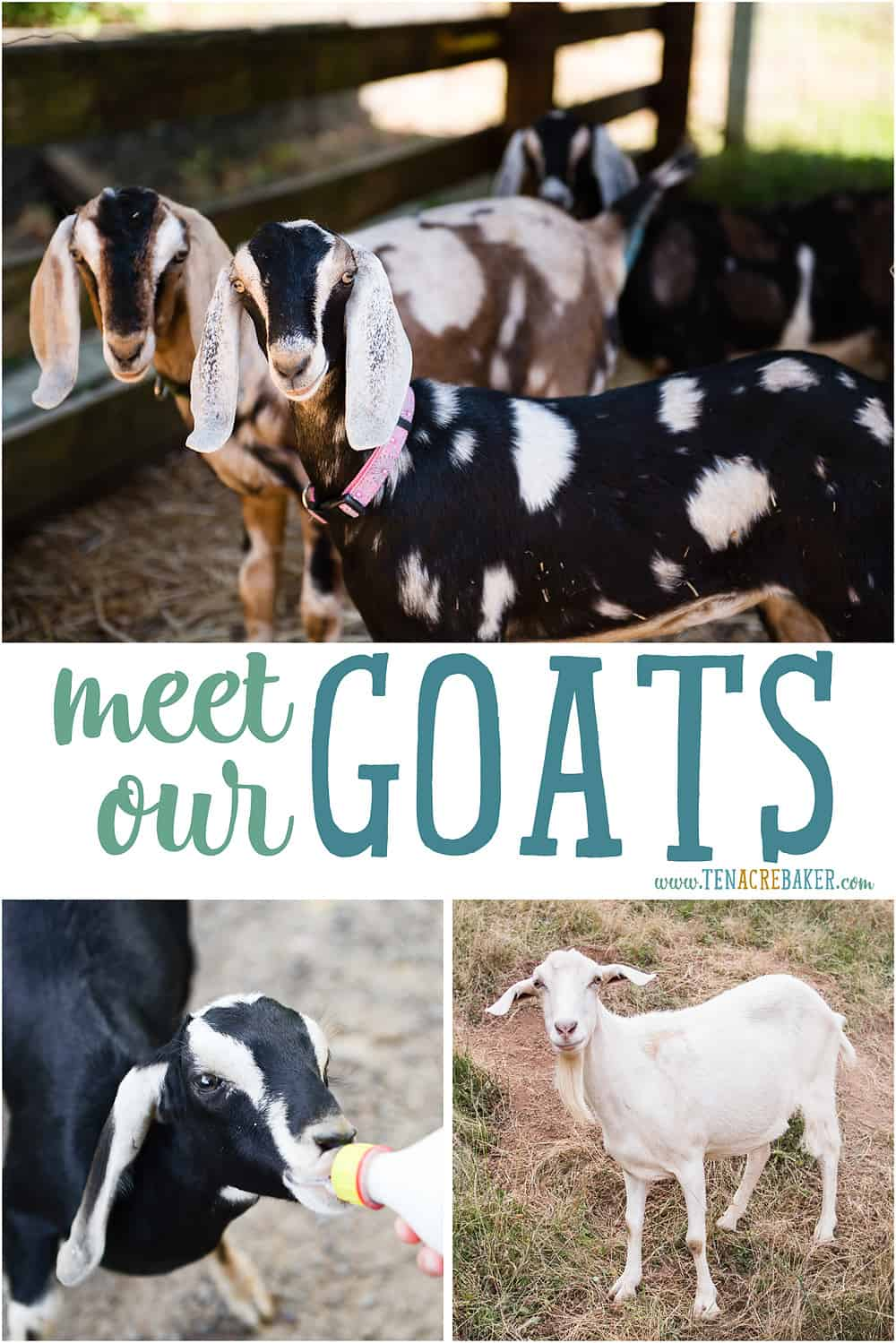Information about our goats