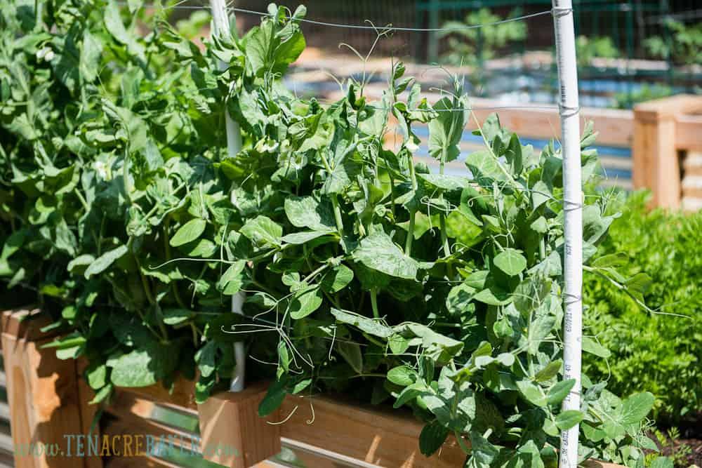 Peas growing up side of Vegetable Garden Trellis