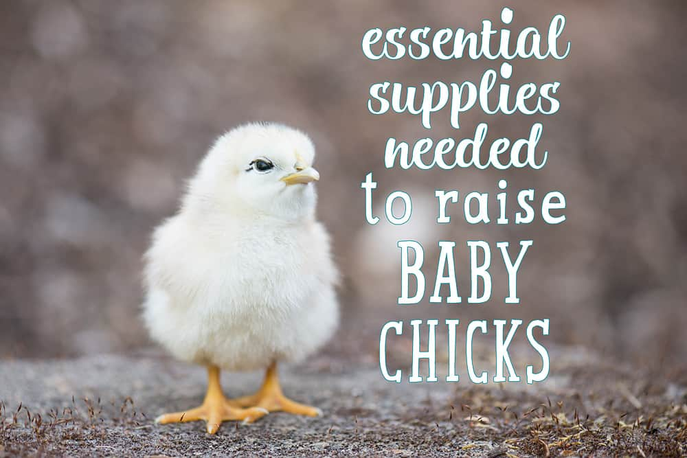 Essential Supplies Needed to Raise Baby Chicks.