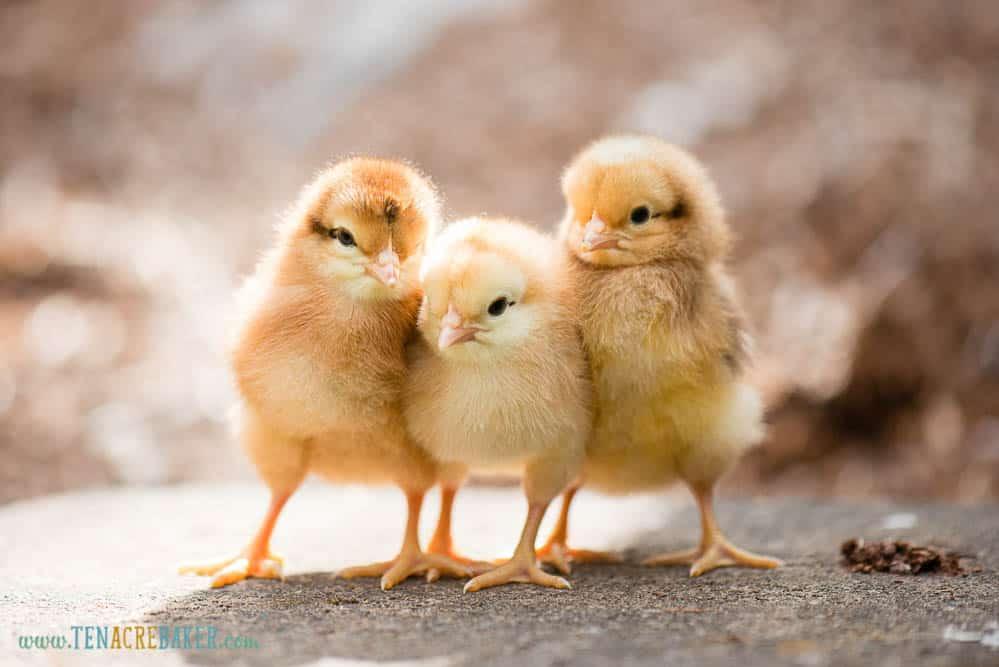 three baby chicks
