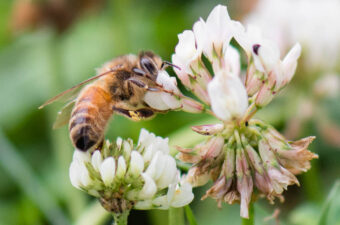 honey bee nector