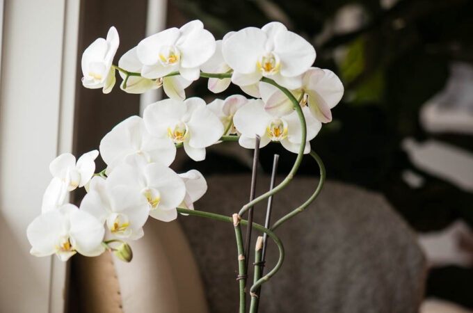 second bloom on a phalaenopsis orchid plant