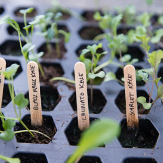 kale starts planted from seeds