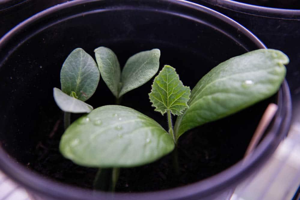 artichoke plants growing in pot