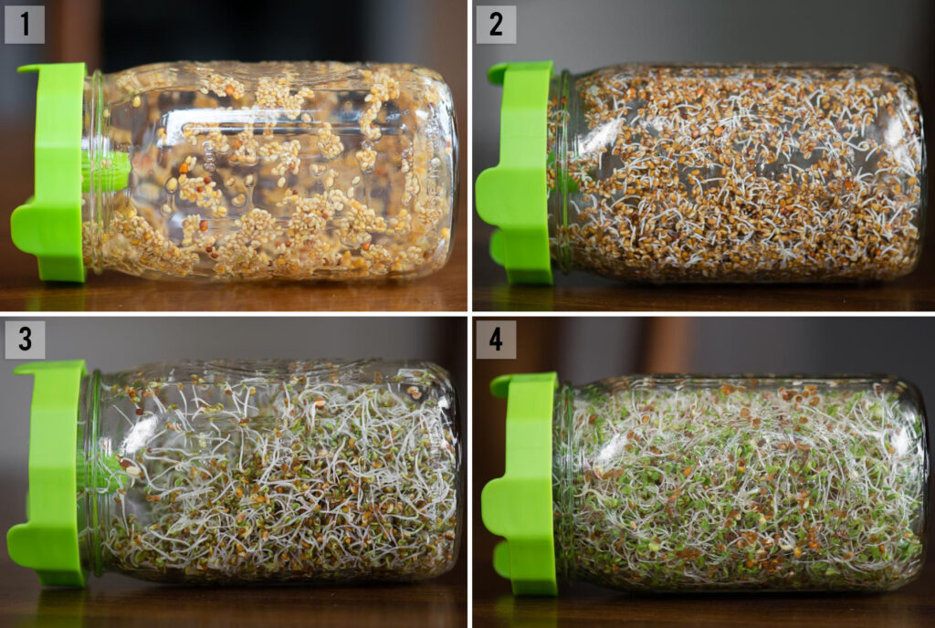 step by step instructions of how to grow alfalfa sprouts in a mason jar
