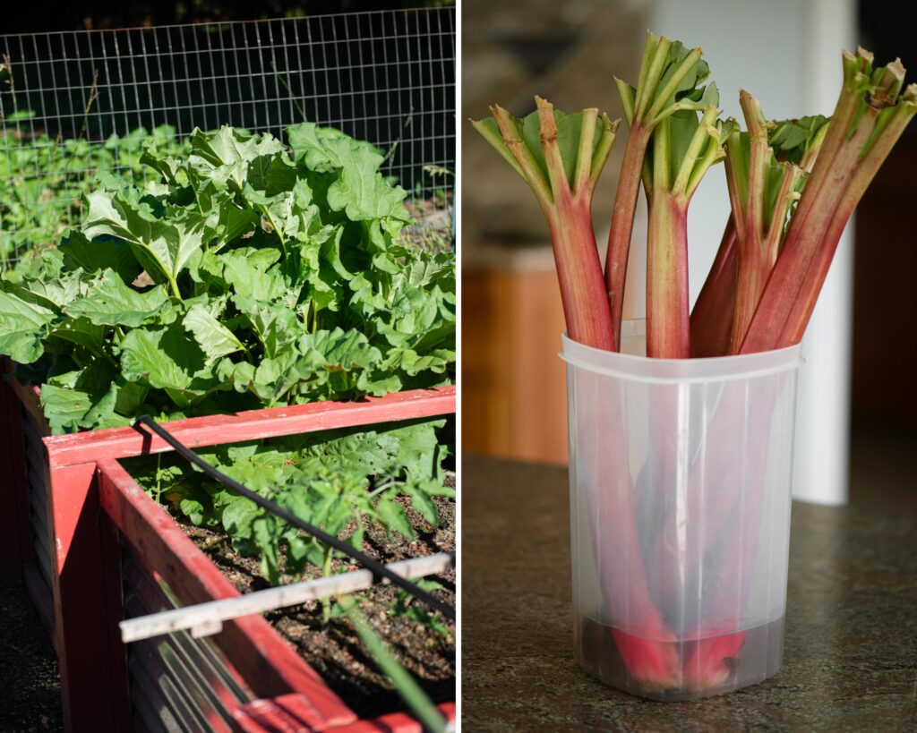 rhubarb in the garden and how to store cut rhubarb